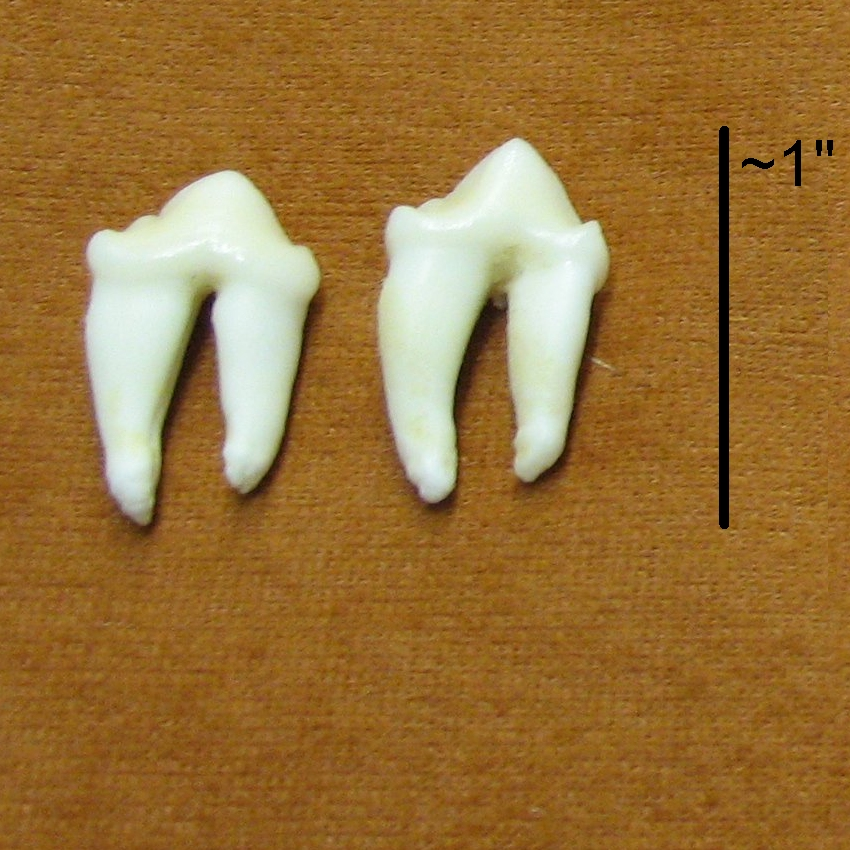 cougar mountain lion teeth canines molars for sale by