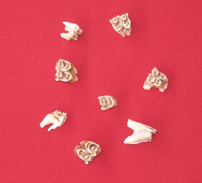Picture of this lot Elk Teeth, Incisors