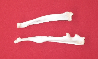 Picture of this lot Cougar Mountain Lion Bones, Scapula, vertebrae, foot bones
