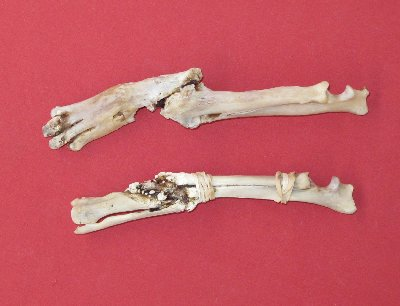Picture of this lot Coyote Bones - atlas, vertebrae, scapula, foot leg bones