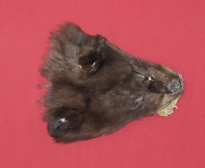 Picture of this lot Tanned Black Bear Heads and Ears