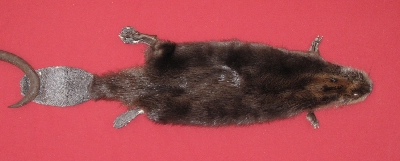 Picture of this lot Tanned Cased Beaver Hides, Furs, Pelts, Skins