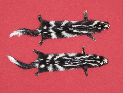 Picture of this lot Tanned Civet Spotted Skunk Hides, Furs, Pelts, Skins