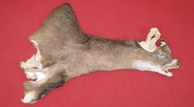 Picture of this lot Tanned Taxidermy White Tail Deer Capes