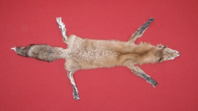 Picture of this lot Tanned Taxidermy Topaz Fox Hides, Furs, Pelts, Skins