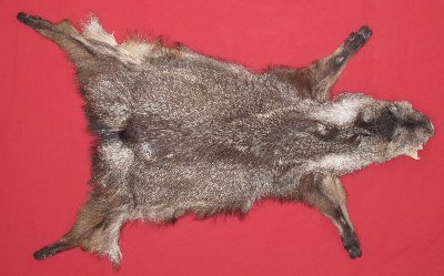 Picture of this lot Tanned Furs - Javelina, Taxidermy