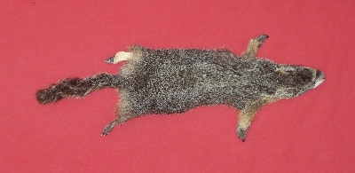 Picture of this lot Tanned Taxidermy Yellow Bellied Marmot Hides, Furs, Pelts, Skins