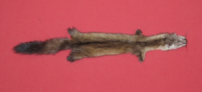 Picture of this lot Tanned Marten Sable Hides, Furs, Pelts, Skins
