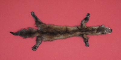 Picture of this lot Tanned Taxidermy Marten Sable Hides, Furs, Pelts, Skins
