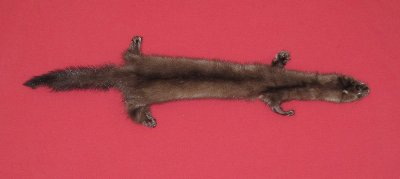 Picture of this lot Tanned Taxidermy Wild Mink Hides, Furs, Pelts, Skins