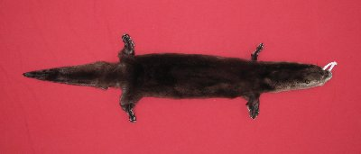 Picture of this lot Tanned Taxidermy Otter Hides, Pelts, Skins