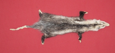 Picture of this lot Tanned Taxidermy Opossum Hides, Furs, Pelts, Skins
