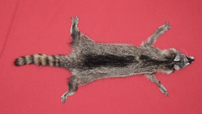Picture of this lot Tanned Taxidermy Raccoon Hides, Pelts, Skins