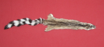 Picture of this lot Tanned Ringtail Cat Hides, Furs, Pelts, Skins