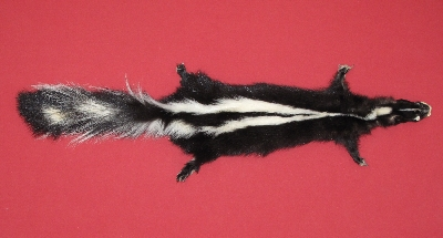 Picture of this lot Tanned Taxidermy Skunk Hides, Furs, Pelts, Skins