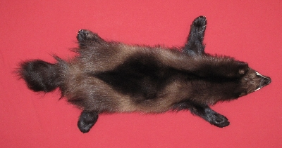 Picture of this lot Tanned Wolverine Hides, Furs, Pelts, Skins