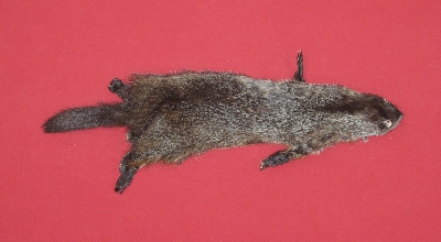 Picture of this lot Tanned Woodchuck Hides, Furs, Pelts, Skins
