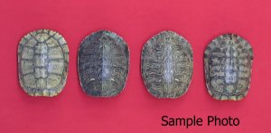 Picture of this lot Miscellaneous Turtle Shells
