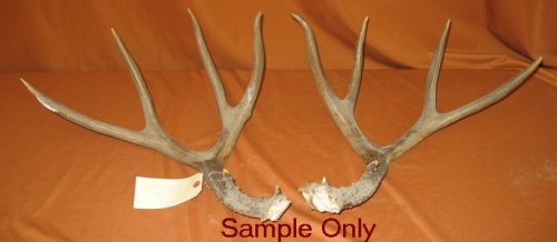 Picture of this lot Mule Deer Rattling Antlers, Matched Pairs