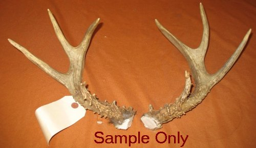 picture of this lot whitetail deer rattling antlers