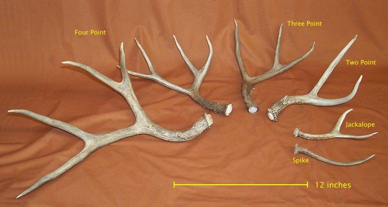 Mule Deer Antler Sides for sale by www.hideandfur.com Rabbit Teeth